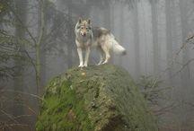 Wolf/ Wolves / 大きいわんこ, もっふもふぅ〜♫( ´ε ` ) 野生動物はペットではありません。自称:動物愛好家の上から目線にはムカつく事しばしばです# 大体, あちこちで狼滅ぼしたのお前らじゃないのか?? 鯨イルカキチガイと同じようにな。いい気になんな!