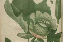 Botanical works / Classic botanical gravures and prints / by San Sabba