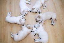 Labradorables / Labradors