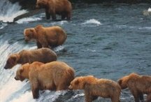 Bears / Alaska is known for it's beautiful Bears...Come to Alaska and see the bears...You'll love it...Experience one of our Wild Alaska Bear Jewelry pieces crafted right in our shop in Fairbanks, Alaska...