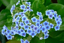 "Alaska Forget-Me-Not / Alaska State Flower - Forget-me-Not Flower...Gold Rush Fine Jewelry in Fairbanks, Alaska has created a collection of Gorgeous ""Forget-Me-Not"" flower rings...""Forget-Me-Not"" flower earrings...and...""Forget-Me-Not"" flower necklaces...Enjoy the Forget-Me-nots..."