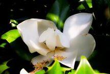 Magnolia / 1