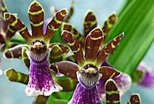 Bakker Orchideák / Bakker Orchid mania