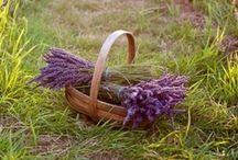 Levendula / Lavendel