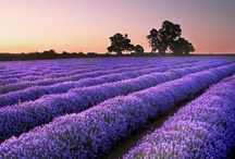 JUST LAVENDER BECAUSE I ADORE IT / by Shari Michener