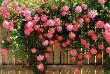 Roses / Rozen / Roses all sorts allerlei rozen