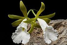Anggrek / Orchids / Orchideeën.