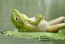 Kikker  / Frog. / Kleurrijke Kikker / Frog !