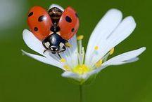 Katicabogarak / Ladybirds / Ladybugs