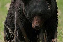 Medvék / Bears