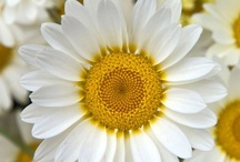 Daisies make me happy / The symbol of innocence, purity, love and beauty