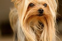 All About: Dogs / . Yorkshire Terrier, Pomeranian, Pekingese and Dachshund (Teckel).