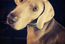 Otto, Wine Dog / Moores Hill's own wine dog, Weimaraner, Otto. So handsome, yet so friendly
