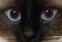 Cats: Siamese