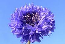 Cornflower blue I