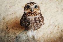 Animalia: Owls