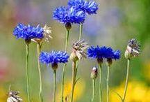 Cornflower blue II