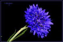 Cornflower blue III