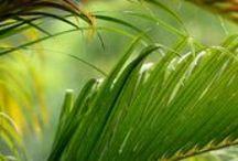 Tropical Nut / Ornamental / Shade / Palm Trees