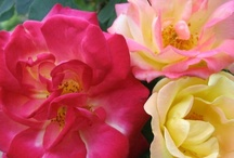 A Rosey Outlook on Life / All about roses