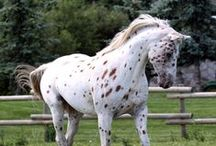 Art Inspired by Rocco the Liberty Appaloosa