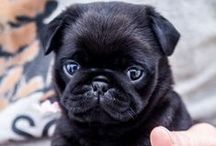 Pugs / This board is also known as, 'My Wish List'!!!!!