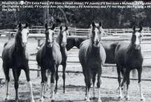 In Appreciation of Fairview Arabian Stud / I often paint the CMK Arabians bred by Dr. David Ward of the Fairview Arabian Stud, Okanagan Falls, BC, Canada  http://www.fairviewarabianstud.com