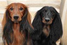 HOUND / lovely dogs, mostly dachshunds