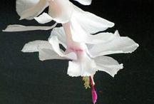 'Kersfees' Kaktus / Pragtige blomme, het self van hulle