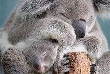 Koalas / Koala, a kedvencem 2017.06.30 2017.03.02 2016.09.13 2016.07.20 ... K. 11.02.2016