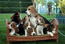 Beagles / all beagles / by Buddy Parsons