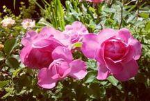 Nos fleurs, plantes & arbres... / Comme vous nous demandez souvent le nom de nos fleurs, de nos arbustes etc... au fur et à mesure nous allons les répertorier sur ce tableau  :)