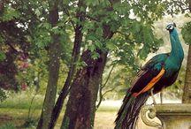 Peacocks / by Megan Marr