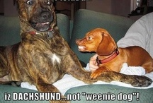 Doxies! ♥♥