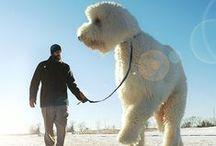 Christopher Cline et son Goldendoodle / Le baptisé Christopher Cline, photographe émérite, s'est servi des réseaux sociaux pour rendre un bel hommage à son chien. Comment ? Grâce de drôles de photos de celui-ci… devenu géant pour l'occasion !