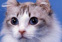 Les races de chats - All Cat Breeds / Découvrez la liste des races de chats reconnues par le LOOF. Pour plus de 50 races félines, Wamiz vous propose une fiche complète avec les caractéristiques, le standard officiel et des photos du chat.
