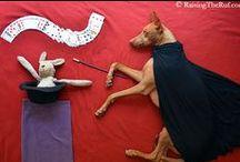 RaisingtheRuf par Sara Rehnmark / Rufus, ou Ruf pour les intimes, c'est le nom d'un chien pouvant se targuer de vivre chaque jour de palpitantes aventures. Ce chien est devenu le modèle favori de son humaine, Sara Rehnmark, qui ne se lasse pas de le photographier dans des situations tout à fait insolites.