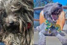 Ces animaux métamorphosés - Before and after pics of dogs / L'incroyable transformation du pelage de ces animaux