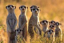 Meerkats! / Otterz, Schmotterz!  Meerkats is cutest!