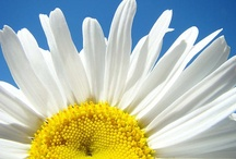 """Brightening Immortelle / Η φροντίδα Immortelle Brightening της L'OCCITANE χαρίζει καλλυντικά οφέλη από τη Μεσόγειο με τα """"άνθη του φωτός"""" : Immortelle και Bellis Perennis (Μαργαρίτα). Τα άνθη Immortelle διαθέτουν εξαιρετική μακροβιότητα και δεν μαραίνονται ούτε όταν κόβονται από το φυτό.Το πλούσιο αιθέριο έλαιό τους διαθέτει μοναδική αντιγηραντική δράση. Η Bellis perennis, η γνωστή μαργαρίτα, παράγει ένα λευκαντικό εκχύλισμα που ρυθμίζει τον χρωματικό τόνο του δέρματος."""