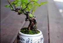 bonsai e piantine