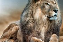 LION.....THE KING