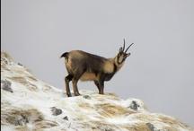 Animals in Abruzzo