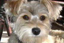 Our Zoe Girl / She is a Snorkie. Half Schnauzer, half Yorkie.