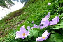 山の花・山野草 / 山の花やら庭の花やら