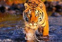 Tigers / majestic creatures