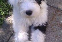 Siska / min old English sheepdog