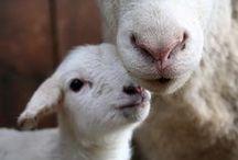 Sheep Diary
