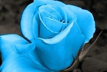 ❀ Roses ❀