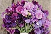 Lathyrus  bloem van de maand april / De siererwt zo heet de lathyrus is een mooie fijne bloem.die in april weer volop wordt geveild. Deze tere bloem in een kleien laagje water zetten. Www.rozemarijnleiden.nl